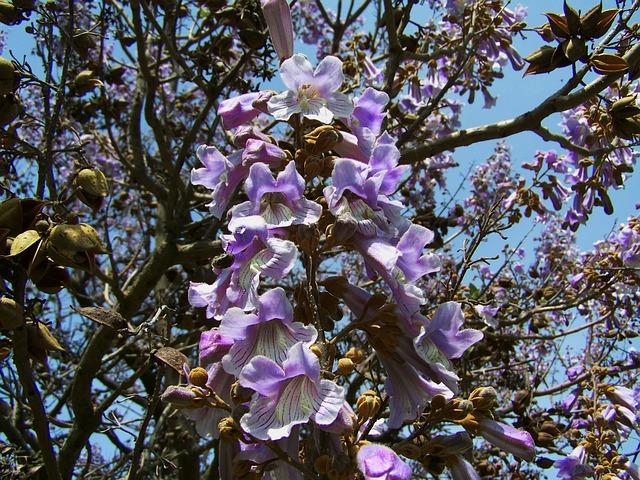 الباولونيا شجرة الأميرة الشجرة الأسرع نمواً في العالم