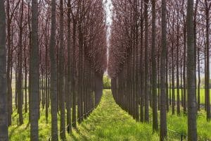 الباولونيا – شجرة الأميرة الشجرة الأسرع نمواً في العالم