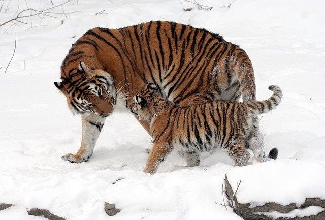 أنواع النمور وخصائصها