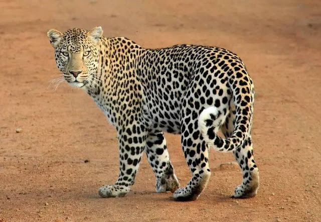 الفهد الافريقي
