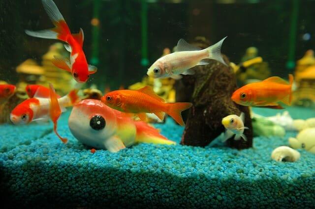 أفضل 10 أسماك زينة لأحواض المياه العذبة