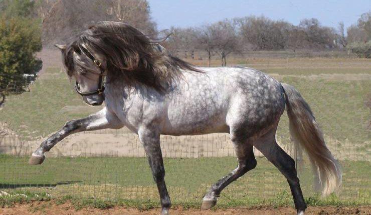 معلومات عن الحصان الأندلسي