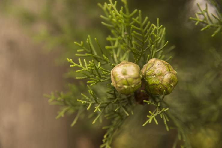 معلومات عن شجرة السرو