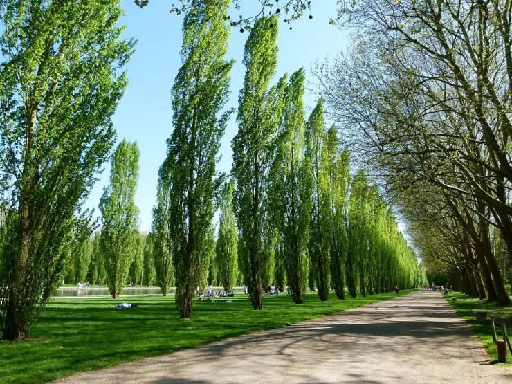 معلومات عن شجرة الحور وطرق وزراعتها