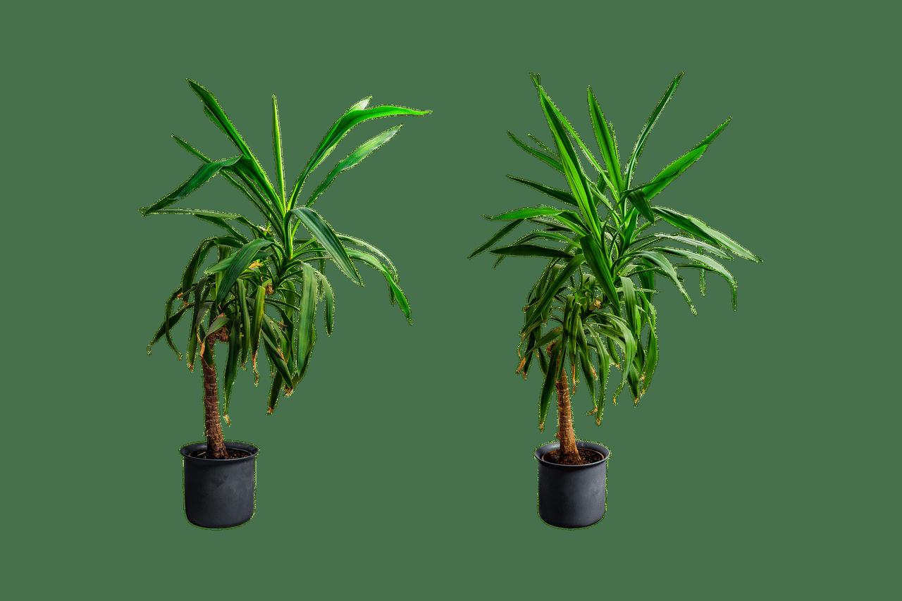 كل ماتحتاج لمعرفته عن نبات اليوكا