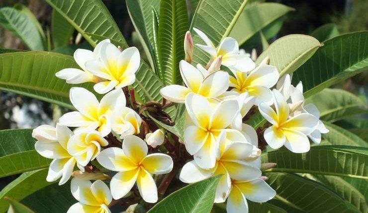 معلومات عن شجرة الياسمين الهندي