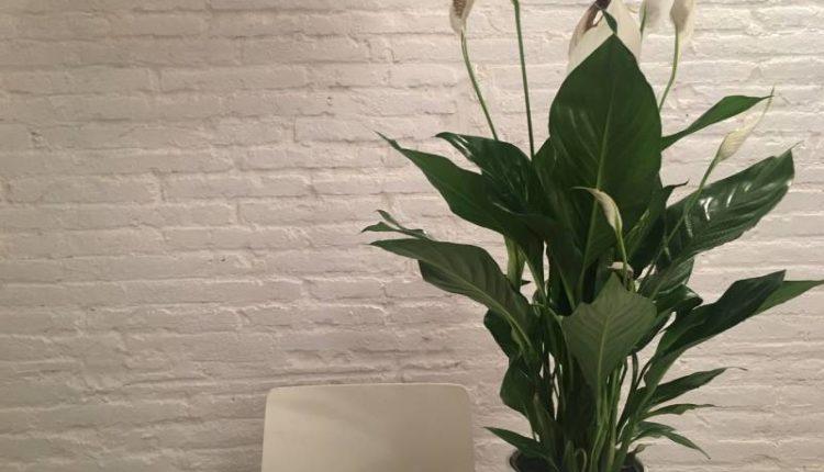 معلومات عن نبات زنبق السلام