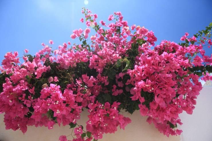 نباتات متسلقة تتحمل الحرارة
