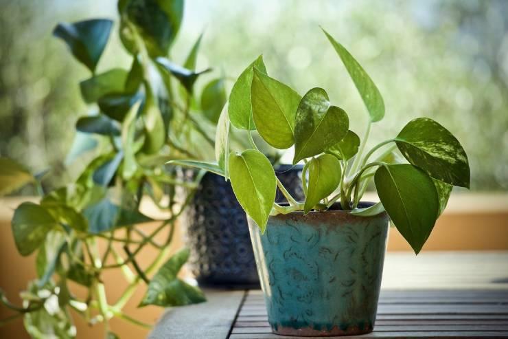 نباتات نباتات منزلية سريعة النمومنزلية سريعة النمو