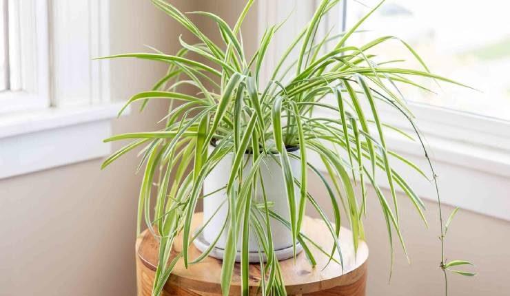 نباتات منزلية سريعة النمو
