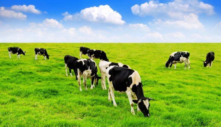 أنواع الأبقار