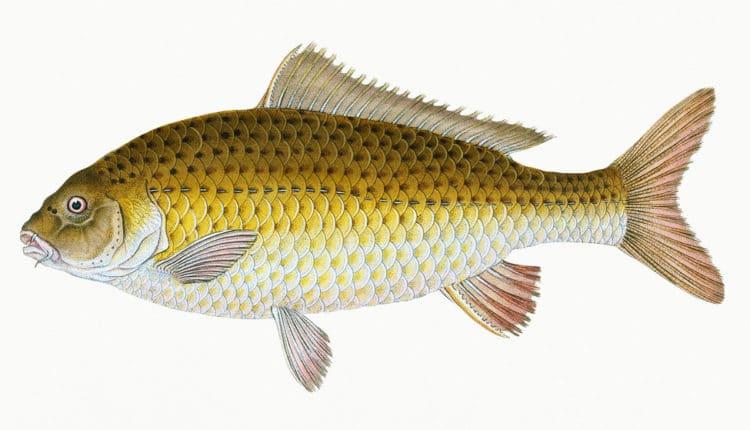 فوائد سمك الكارب