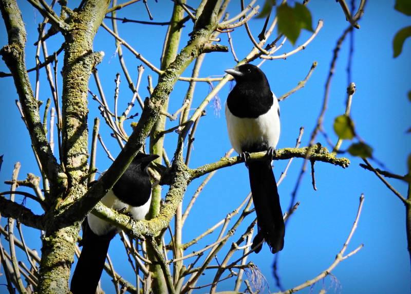 معلومات عن طائر العقعق