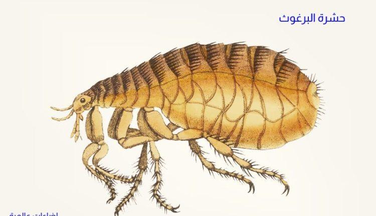 أعراض الإصابة بحشرة البرغوث وطرق الوقاية والمكافحة