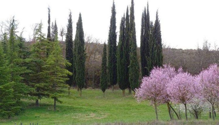 أنواع شجر السرو