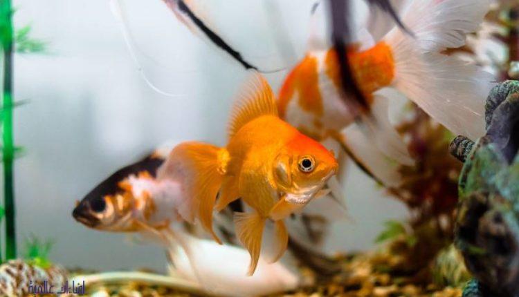الأسماك التي تعيش مع الجولد فيش