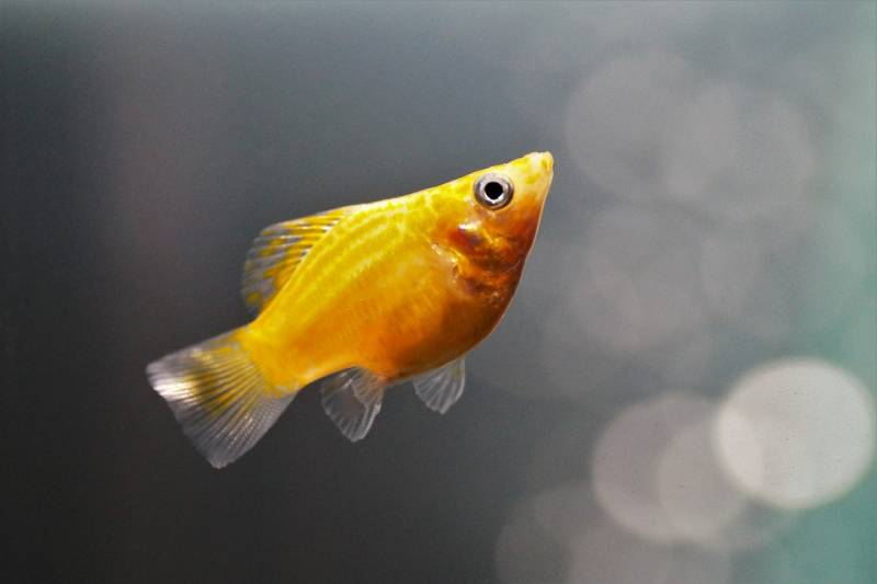 أنواع سمك الزينة