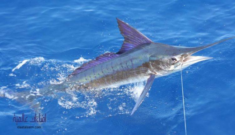 فوائد سمكة المارلين