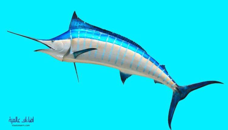 معلومات عن سمكة المارلين