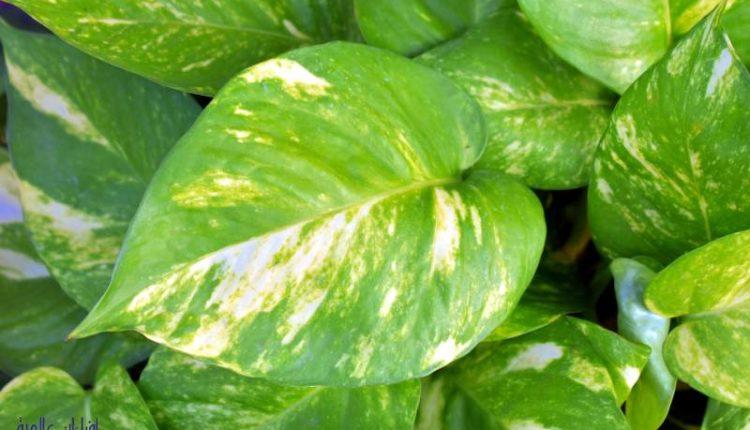 أسباب اصفرار أوراق نبات البوتس