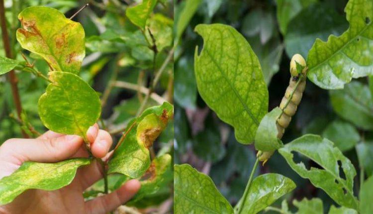 أمراض نبات الياسمين وطرق علاجها