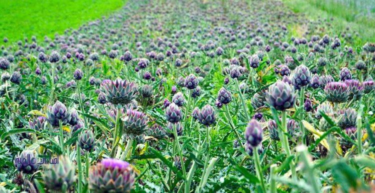 فوائد وطريقة زراعة نبات الخرشوف