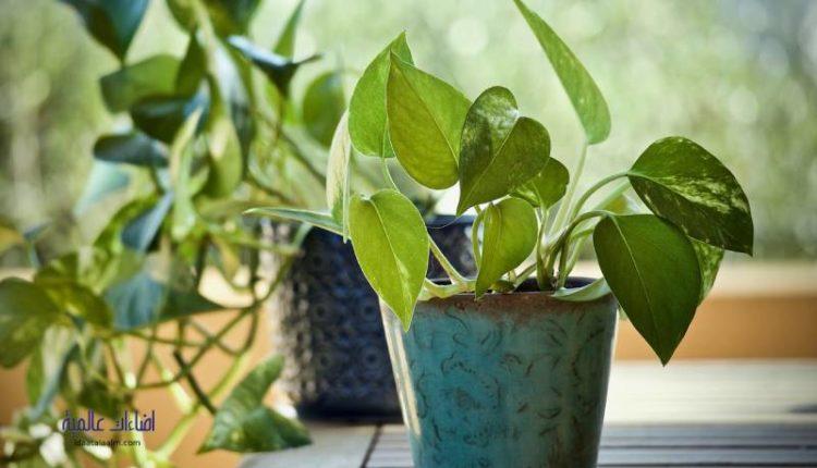 سبب ذبول نبات البوتس