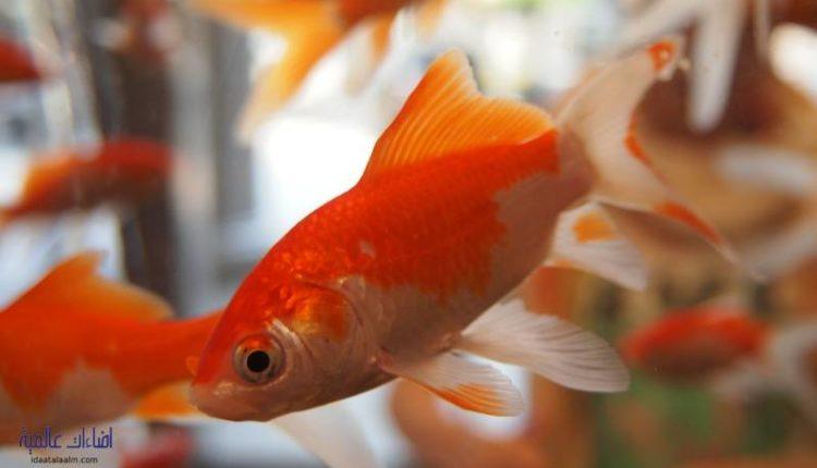 كم مرة يأكل سمك الزينة
