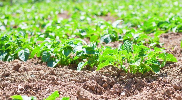 موعد زراعة البطاطا
