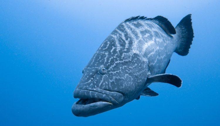 شكل سمك الهامور
