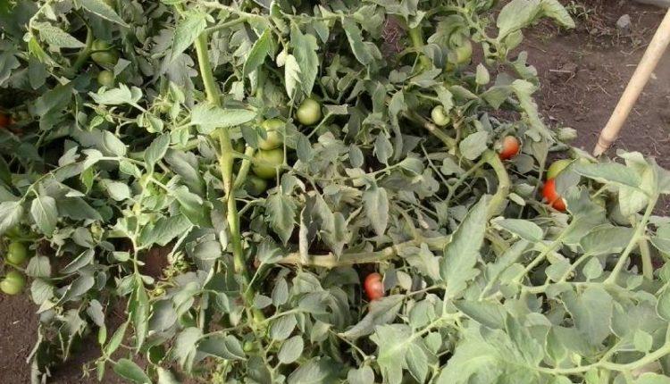 أفضل أنواع السماد للطماطم