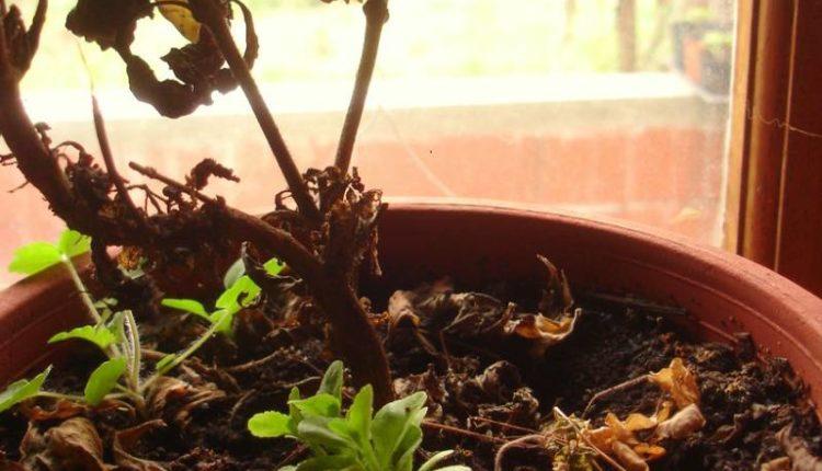 إنعاش النباتات