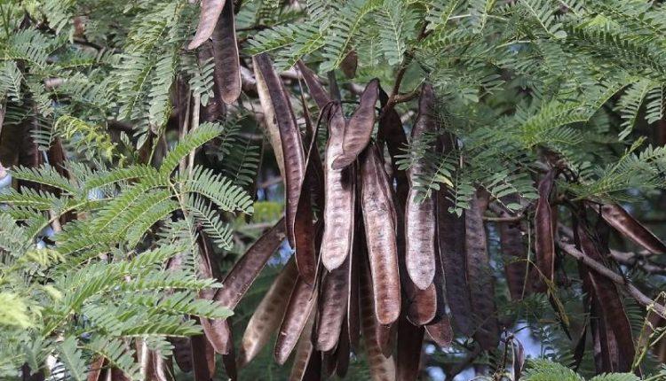 شجرة أكاسيا لوسيانا