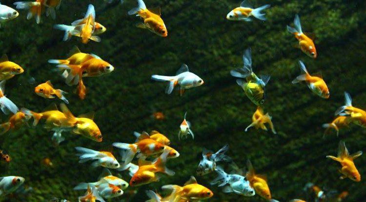 كم تعيش السمكة الذهبية