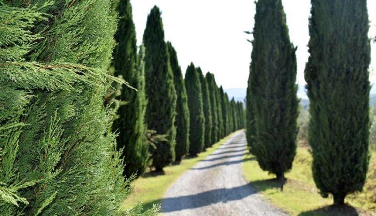 معدل نمو شجرة السرو