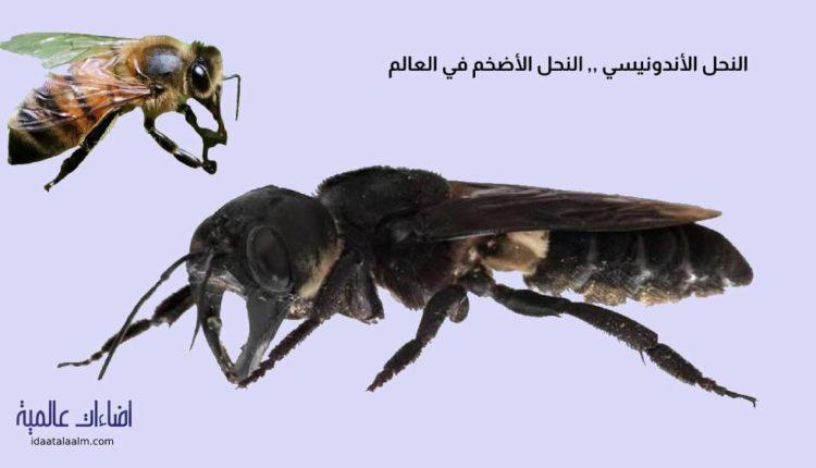 معلومات عن النحل الإندونيسي العملاق