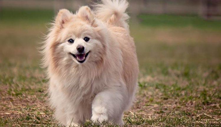 معلومات عن كلب بومرينيان