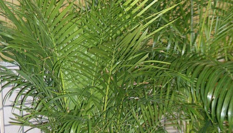 نبات الاريكا