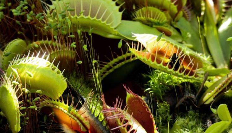 نبات فينوس
