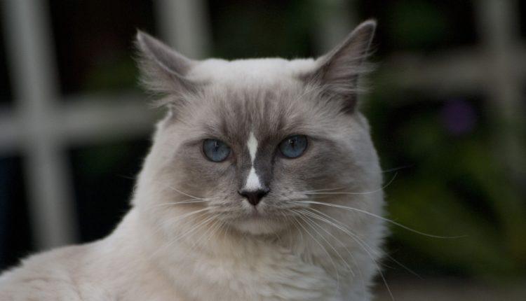 قطط راغدول