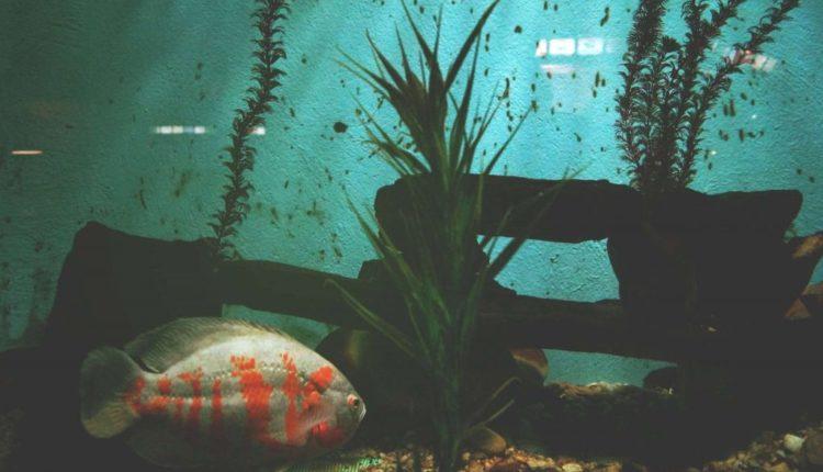 سبب بقاء السمك أسفل الحوض