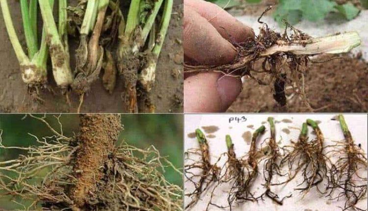افضل مبيدات أعفان الجذور
