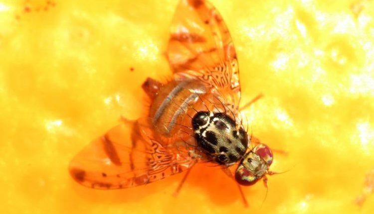 المكافحة المتكاملة لذبابة الفاكهة