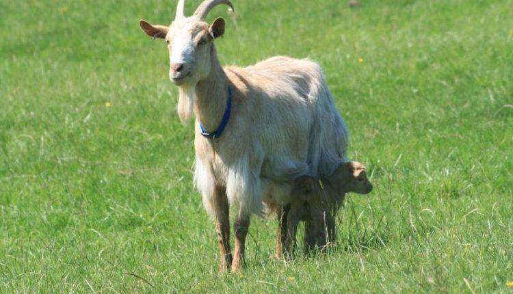 تغذية الماعز بعد الولادة