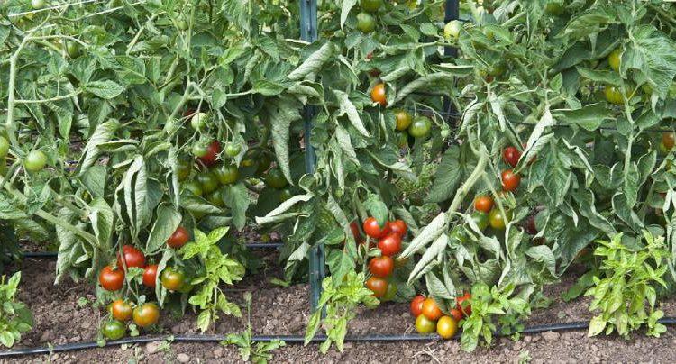 جدول تسميد الطماطم بالتنقيط