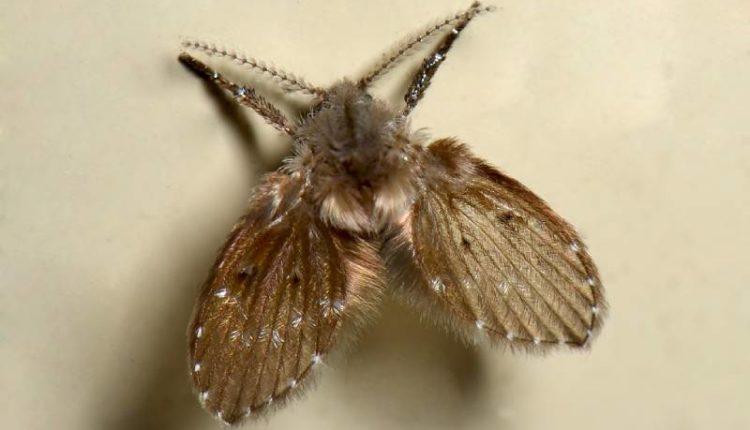 التعرف على حشرة البرغش ومكافحتها