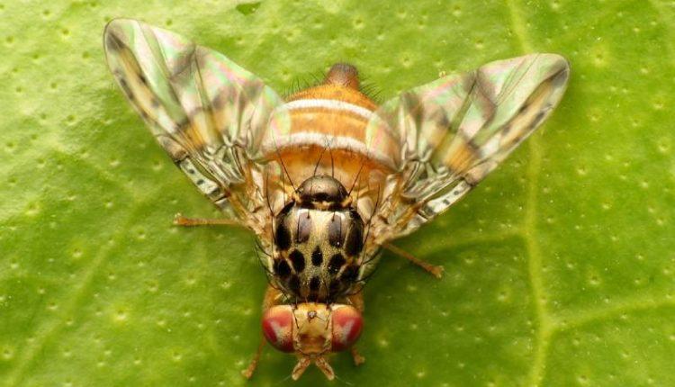 معلومات عن ذبابة الفاكهة ومكافحتها