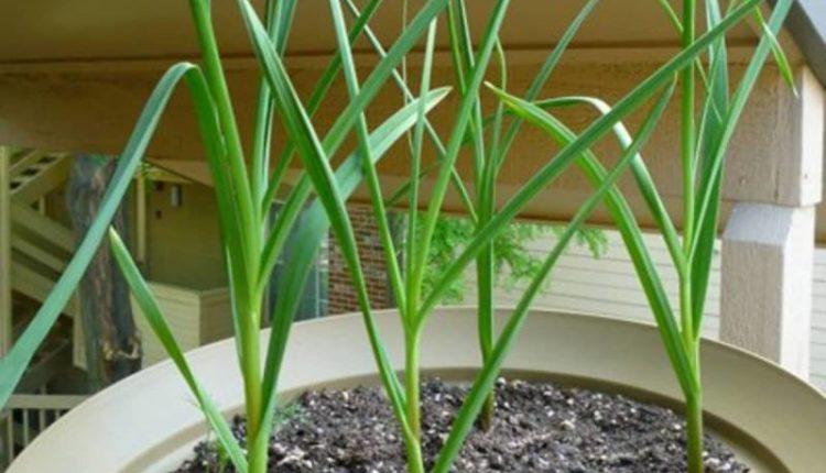 زراعة الثوم في المنزل في الأصص والحاويات