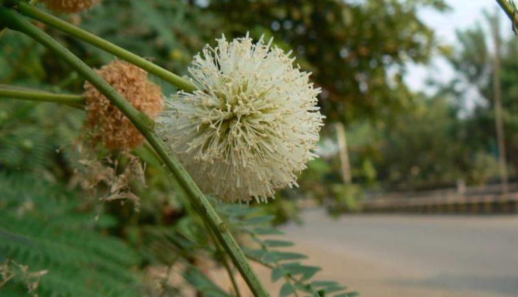 شجرة اكاسيا جلوكا