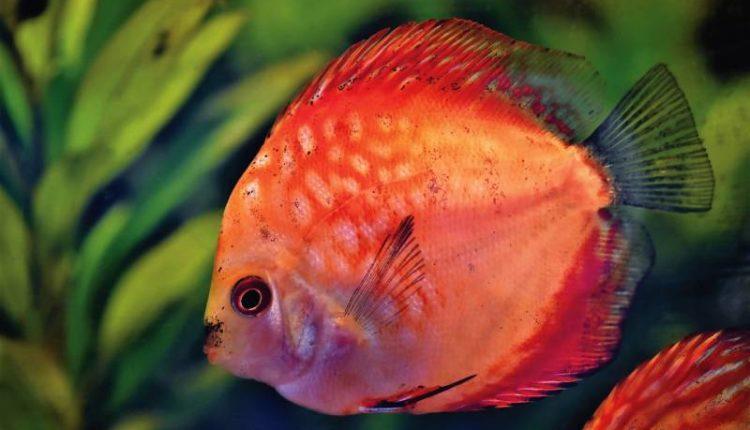 كم يعيش سمك الزينة بدون طعام